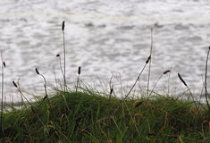 Wild Grass Plants With Atlantic Ocean In Background Royalty Free Stock Images