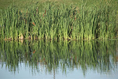 Wild Grass Reflected On Water Royalty Free Stock Photography