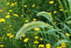 Wild Grass Seed Head. The wild grass seed head curved gently to the left in front of a meadow of yellow flowers royalty free stock photography
