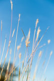 Wild grass seed-heads close up in field in selective focus. Stock Photos
