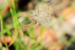 Wild Grass Seed. Old Wild grass Flower With Brown Seed ready to Plant stock photos