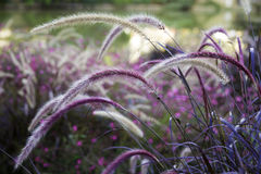 Wild grass setaria swaying in the wind Stock Photo