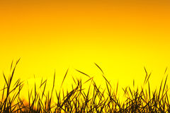 Wild grass silhouette. Against the sunset sky Royalty Free Stock Images
