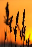 Wild grass silhouette. Against the sky Royalty Free Stock Image