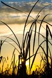 Wild grass silhouette. Against the sky Stock Photography