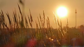 Wild grass silhouette against golden hour sky during sunset. 4K stock video