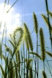 Wild grass with sun rays and sky natural photo. royalty free stock photography