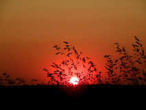 Wild grass sunset Royalty Free Stock Photography