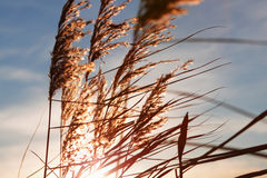 Wild grass at sunset Royalty Free Stock Photos