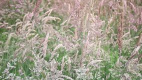 Wild grass swaying in the wind. Wild grass swaying in the wind, HD footage stock video footage