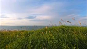 Wild grass swaying in wind. Thin wild grass waving in wind at sunset stock video footage