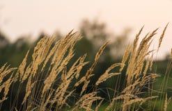 Wild grass under warm evening light. In a rural field royalty free stock photo