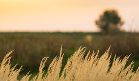 Wild grass under warm evening light. In a rural field royalty free stock image