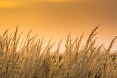 Wild grass under warm evening light. In a rural field stock photography