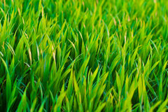 Wild Grass in warm summer light. A bunch of wild grass growing on a field Royalty Free Stock Photo