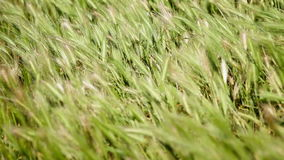 Wild grass waving on strong wind in field stock footage
