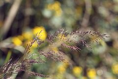 Wild grass in wind in autumn. On green background in sunlight in the morning, design material of holiday royalty free stock photos