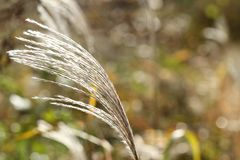 Wild grass in wind in autumn in the morning. In the sunlight, design material of holiday, abstract background stock photography