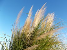 Wild Grass in the Wind on Blue Morning Sky Stock Photos