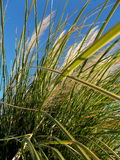 Wild Grass in the Wind on Blue Morning Sky Stock Images