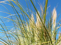 Wild Grass in the Wind on Blue Morning Sky Royalty Free Stock Image
