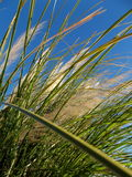 Wild Grass in the Wind on Blue Morning Sky Royalty Free Stock Photos