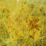 Wild grass with yellow and green color. Plant, needle, shaped, leaf, botany, flower, flora, floral, summer, spring, beautiful, beauty, wonderful, interesting royalty free stock photos