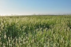 Free Wild Grasses 2 Royalty Free Stock Photography - 41424477