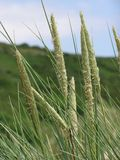 Wild Grasses. Growing in a rural setting Royalty Free Stock Photo