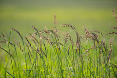 Wild Grasses Blowing in the Breeze. Wild Grass Seeds on thin stalks blowing in a gentle breeze in Grand Teton National Park stock image