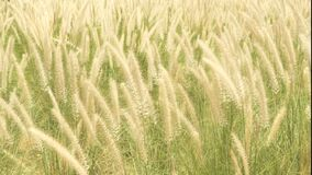 Wild grasses blowing in the wind. Wild grasses blowing in the gentle wind. nature footage background stock video footage