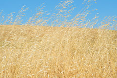Wild Grasses Blowing In The Wind Stock Images