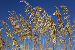 Wild Grasses With Blue Sky Background Royalty Free Stock Photography