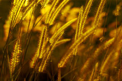 Wild grasses in evening light Royalty Free Stock Image