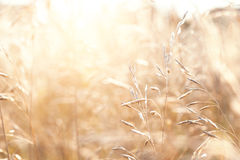 Wild grasses in a field Royalty Free Stock Photos