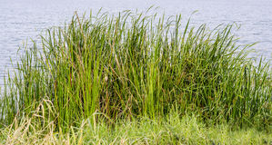 Wild grasses have water as background Royalty Free Stock Images