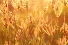 Goldy grasses. Wild grasses with perfect sunlight of sunset Royalty Free Stock Photography