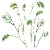 Wild Grasses Set. Hand drawn floral set. Watercolor wild grasses isolated on white background.  Wild oats  and bluegrass sketch Stock Images