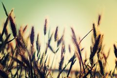Wild grasses and weeds in a meadow . Royalty Free Stock Photography