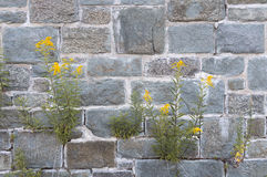 Wild grasses with yellow flowers growing out of crevices or cracks over old rock walls Royalty Free Stock Images
