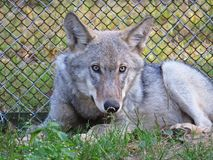 Wild Gray Beautiful Lying Wolf on the Ground with Fence in Background royalty free stock photo