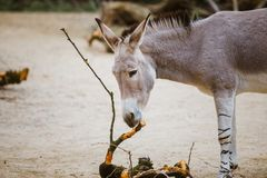 Wild gray donkey with white stripes eats at the zoo