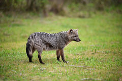 Wild gray fox on the grass Stock Images