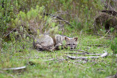 Wild gray fox on the grass Royalty Free Stock Image