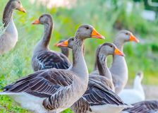 Wild gray geese with orange beaks on the background of green gra. Group of wild geese with bright beaks in green grass Royalty Free Stock Photo