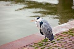 Wild gray heron Royalty Free Stock Photography