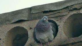 Wild gray pigeon bird sitting in concrete slab stock footage
