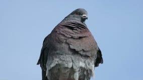 Wild gray pigeon bird sitting in concrete slab looks stock video footage