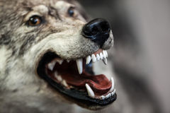 Wild gray wolf animal. Wild dangerous gray wolf animal showing open mouth teeth Royalty Free Stock Images