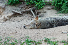 Wild gray wolf. Wild forest wolf in summer on earth Stock Photo